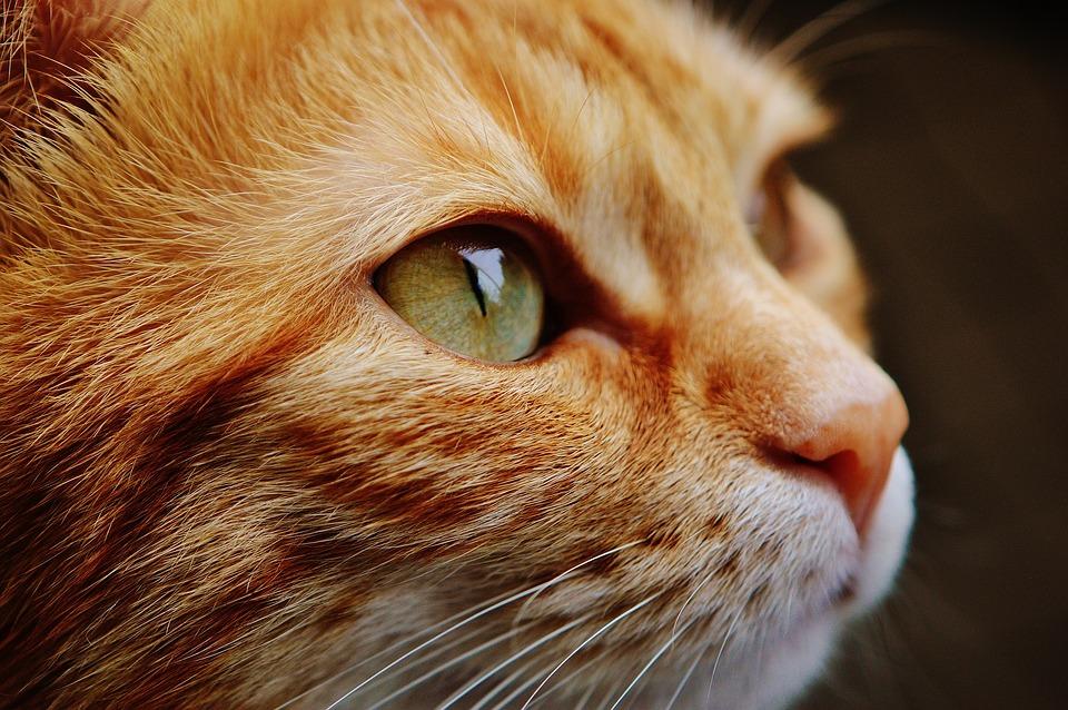 8 faktů o zrzavých kočkách, které vás možná překvapí