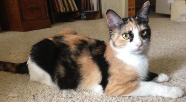 Callie - matka Grumpy Cat