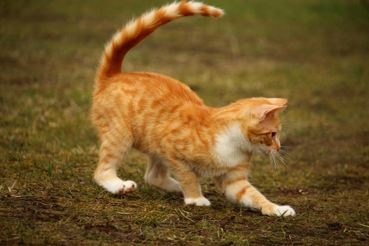 Kočka ve střehu