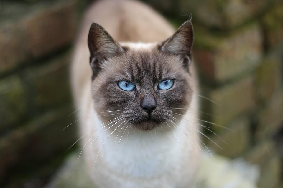 Siamská kočka