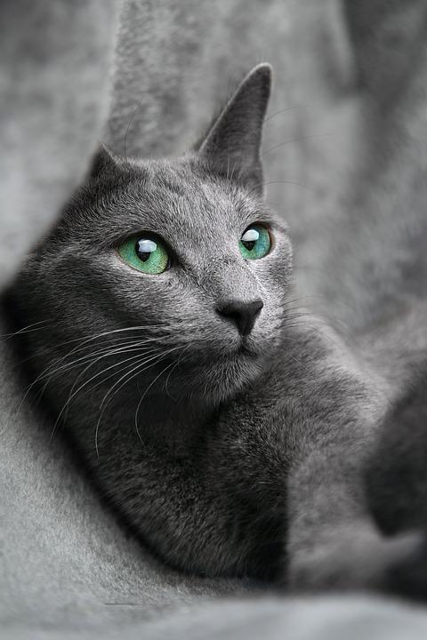 519b3ff2c Stavba těla: Ruská modrá kočka