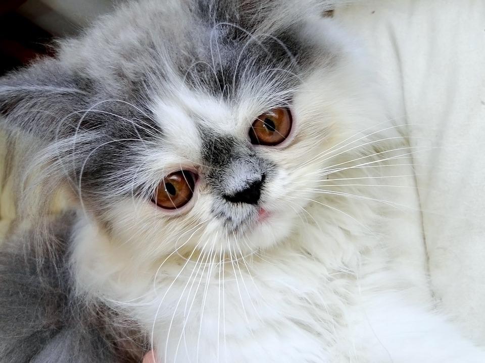 Šedo-bílá perská kočka