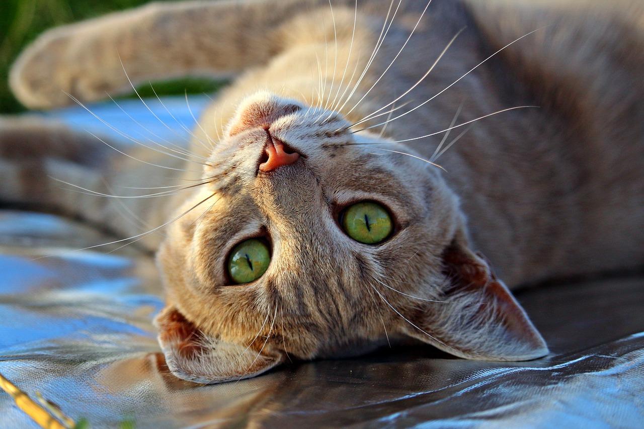 Hravá kočka