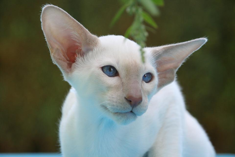 Krémová siamská kočka