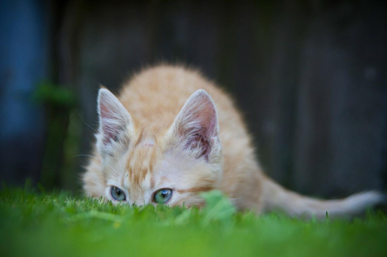 Kočka sledující