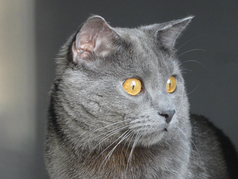 Kartouzská kočka