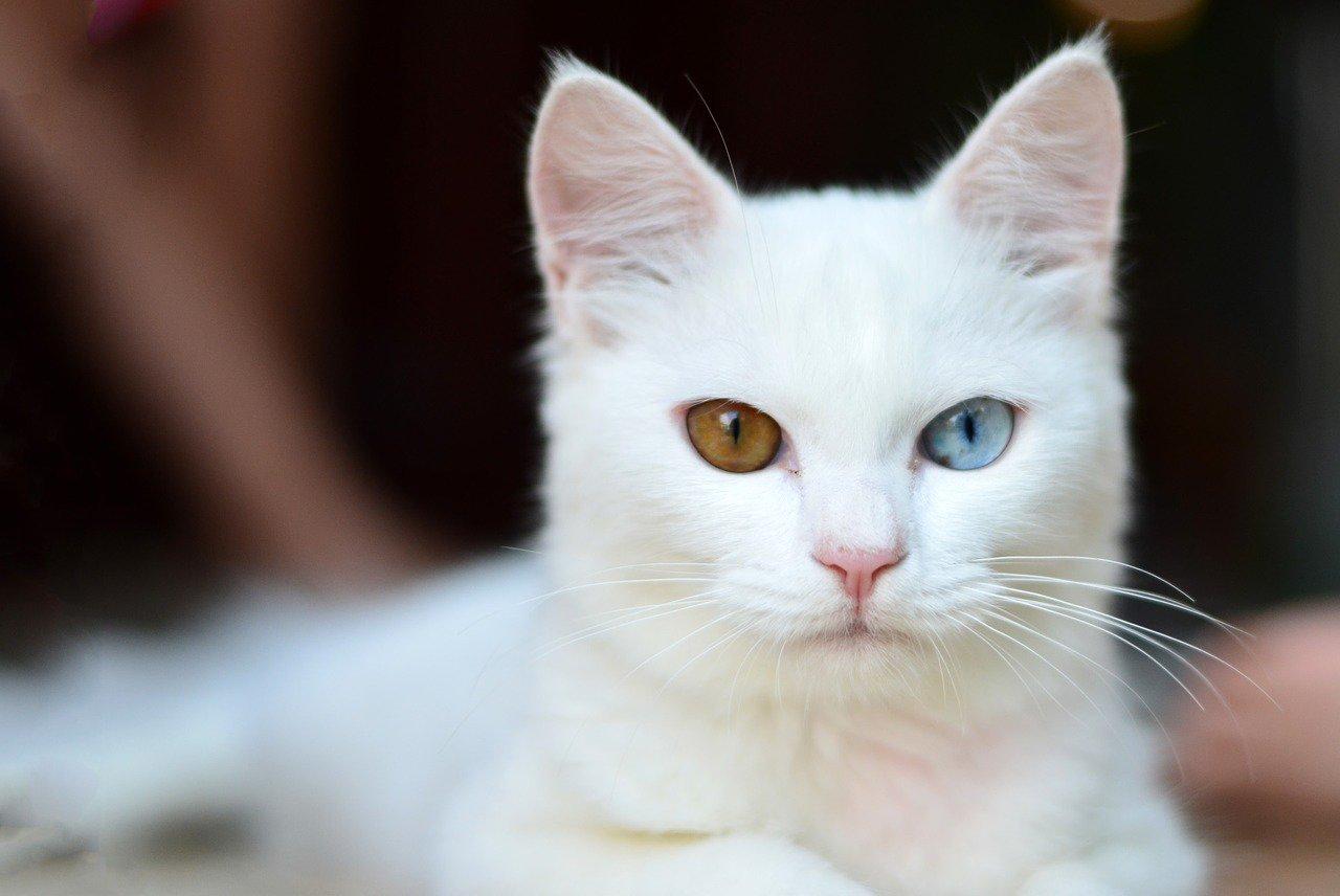 10 zajímavostí o bílých kočkách