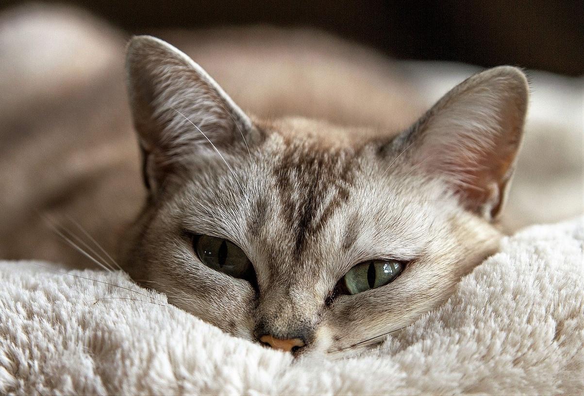 Kočičí uši