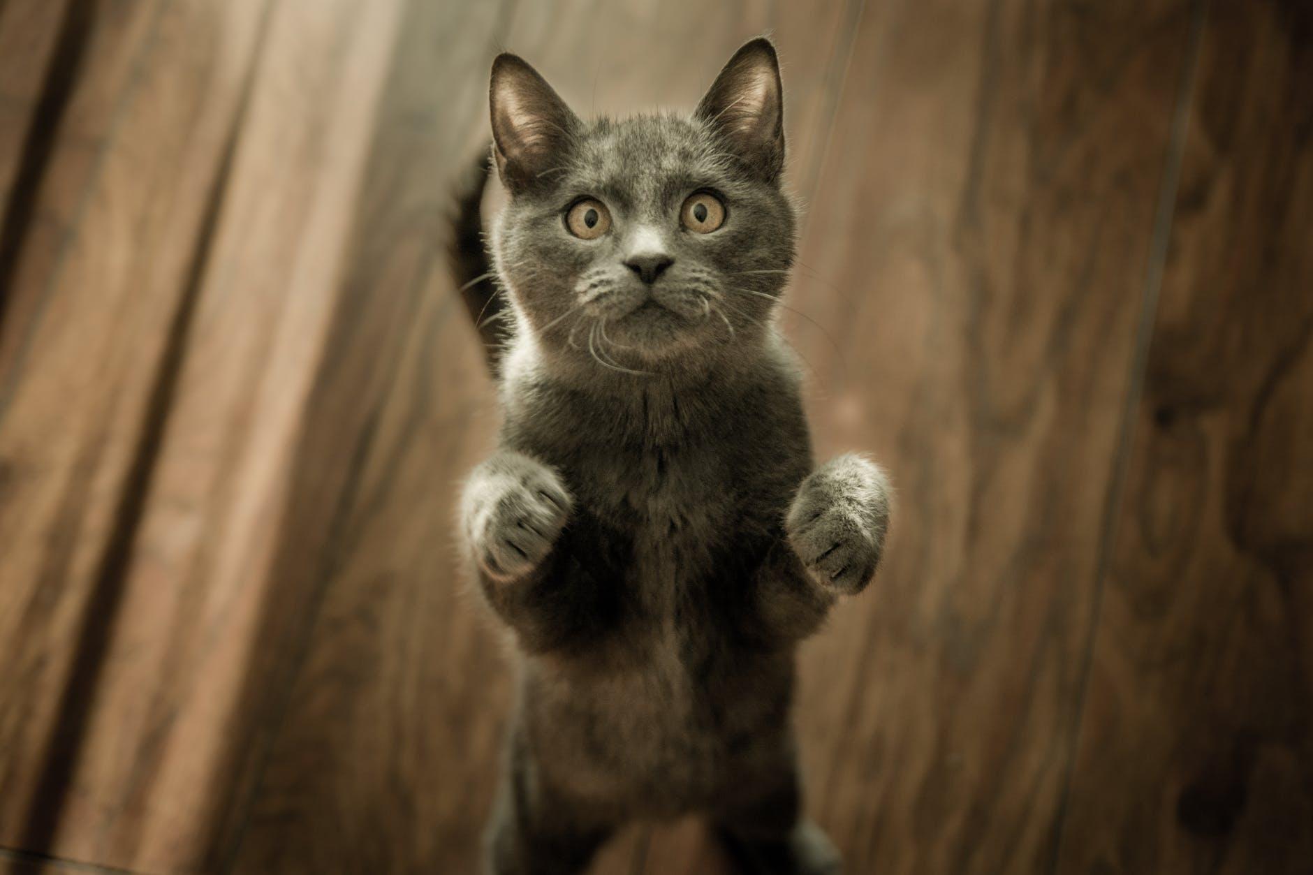Kočka prosí o dobrůtky