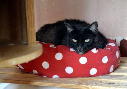 Černá kočička v puntíkovém pelíšku