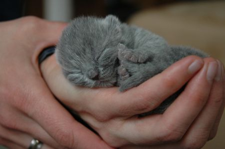 Koťáto britské kočky