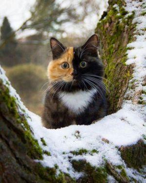 kaliko kočka