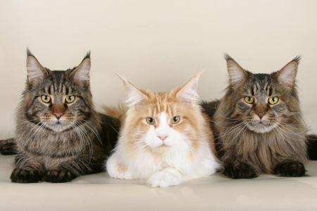 Mainská mývalí kočka/Maine coon cat