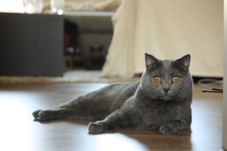 Chartreux (Kartouzská kočka)