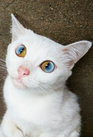 Dvoubarevné oči